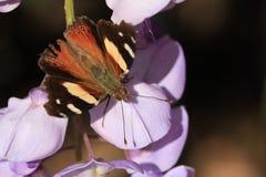 Австралийская желтая бабочка адмирала в покое (itea Ванессы) Стоковое фото RF