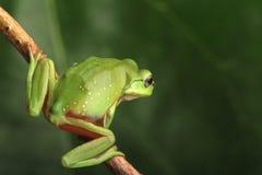Зеленая лягушка сидя на лозе Стоковое Фото