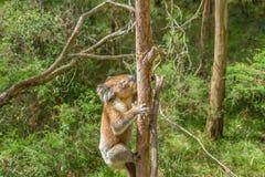 Австралийская коала на ветви Стоковая Фотография