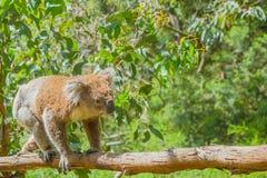 Австралийская коала на ветви Стоковое Фото