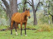 Австралийская лошадь запаса в австралийском Bushland стоковое изображение