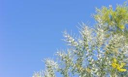 Австралийская предпосылка дерева wattle с экземпляр-космосом Стоковая Фотография