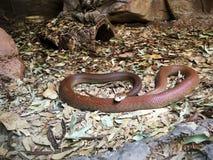Австралийская прибрежная змейка тайпана Стоковая Фотография