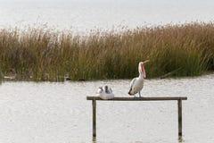 Австралийская птица воды пеликана садясь на насест на wi деревянного поляка зевая Стоковое Изображение