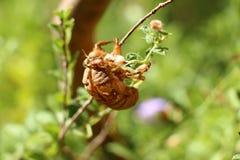 Австралийская раковина цикады Стоковое Изображение RF