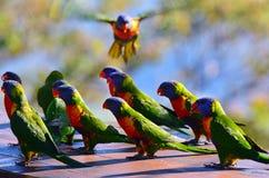 австралийская радуга lorikeet стоковое изображение