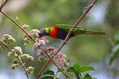 австралийская радуга lorikeet Стоковые Фотографии RF