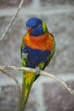 австралийская радуга lorikeet Стоковое Изображение RF