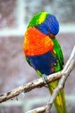 австралийская радуга lorikeet Стоковая Фотография RF