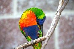 австралийская радуга lorikeet Стоковые Фото
