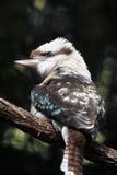 Австралийская смеясь над птица Kookaburra садить на насест на ветви дерева Стоковая Фотография
