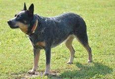 австралийская собака скотин Стоковые Фото