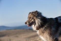 Австралийская собака чабана в природе Стоковые Изображения RF