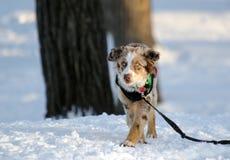 Австралийская собака чабана играя в снеге Стоковые Фотографии RF