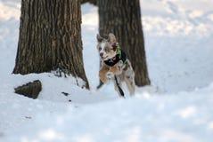 Австралийская собака чабана играя в снеге Стоковое Фото