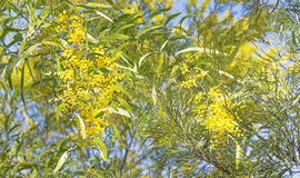 Австралийская сцена куста с цветками wattle Стоковое фото RF