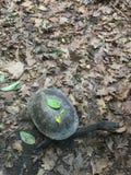 Австралийская черепаха Стоковые Изображения RF
