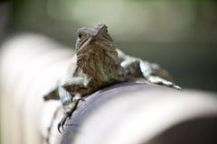 Австралийская ящерица дракона воды Стоковое Изображение RF