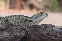Австралийская ящерица Стоковые Фото