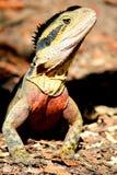 Австралийская ящерица Стоковое Изображение
