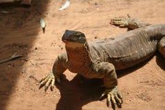 Австралийская ящерица Стоковое Изображение RF