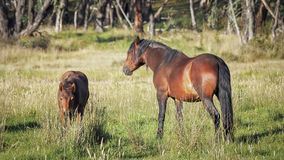 Австралийские жеребец Brumby и одно его ожеребятся стоковое изображение
