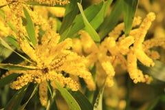Австралийские желтые цветки стоковые изображения