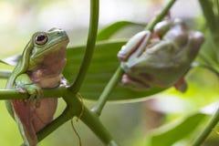 Австралийские зеленые древесные лягушки Стоковое Фото
