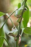 Австралийские зеленые древесные лягушки Стоковые Изображения