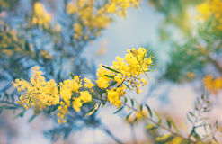 Австралийские золотые желтые цветки wattle весны Стоковые Фотографии RF