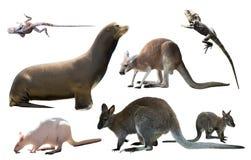 Австралийские изолированные животные Стоковое Фото