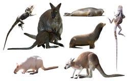 Австралийские изолированные животные Стоковые Фотографии RF