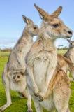 Австралийские красные кенгуру с joey в мешке Стоковое Изображение RF