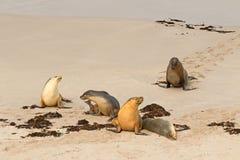 Австралийские морсые львы загорая на песке после плавать на уплотнении b Стоковая Фотография