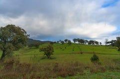 Австралийские обрабатываемые земли при коровы пася на paddock Стоковые Изображения RF