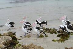 Австралийские пеликаны на пляже стоковые фотографии rf