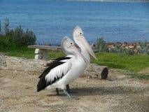 Австралийские пеликаны Стоковое фото RF