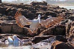 австралийские пеликаны Стоковая Фотография RF