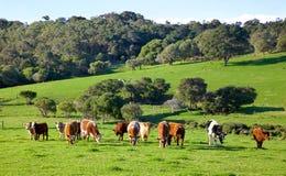 Австралийские скотины Стоковая Фотография