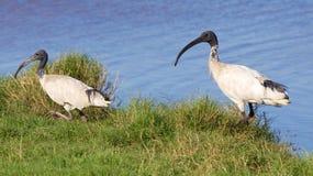 Австралийский белый Ibis Стоковые Изображения RF
