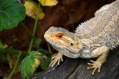 Австралийский бородатый портрет дракона Стоковые Изображения RF