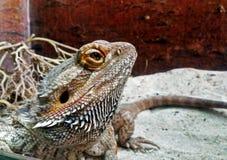 австралийский бородатый дракон Стоковые Изображения RF