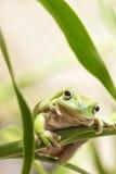 австралийский вал зеленого цвета лягушки Стоковые Изображения RF