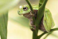 австралийский вал зеленого цвета лягушки Стоковое Изображение RF