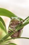 австралийский вал зеленого цвета лягушки Стоковые Фото