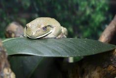 австралийский вал лягушки Стоковые Фото