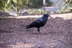 австралийский ворон Стоковые Фотографии RF