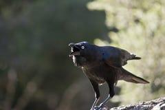 австралийский ворон Стоковые Фото
