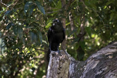 австралийский ворон Стоковое фото RF