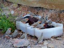Австралийский зяблик зебры Стоковые Изображения